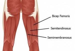 Hamstring-Muscles
